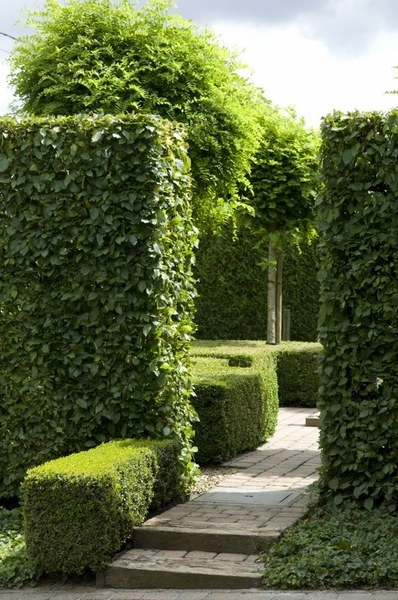 Hedge Fun The Potted Boxwood