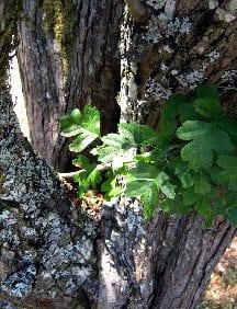 Hawthornbark