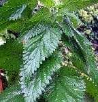 Nettleplant