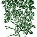 Raspberry History, Folklore, Myth, And Magic