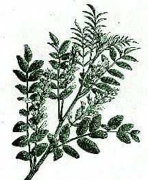 Licorice – Pocket Herbal