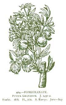Pomegranate Drawing