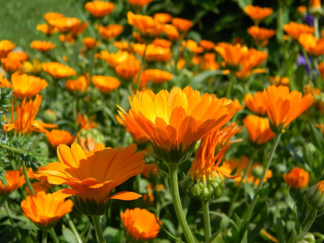 Calendula Properties, Energetics, And Uses