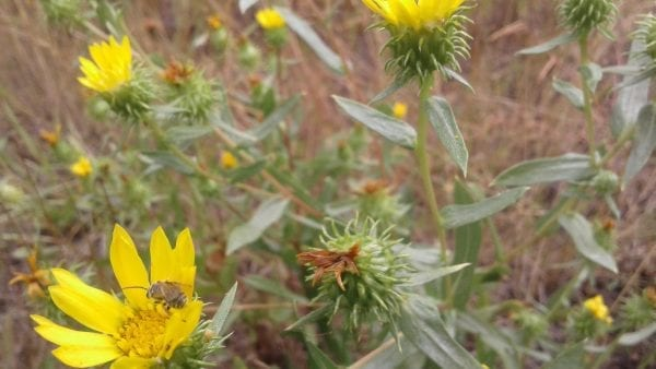 Willamette Valley Gumweed (Grindelia Integrifolia) With Sweat Bee