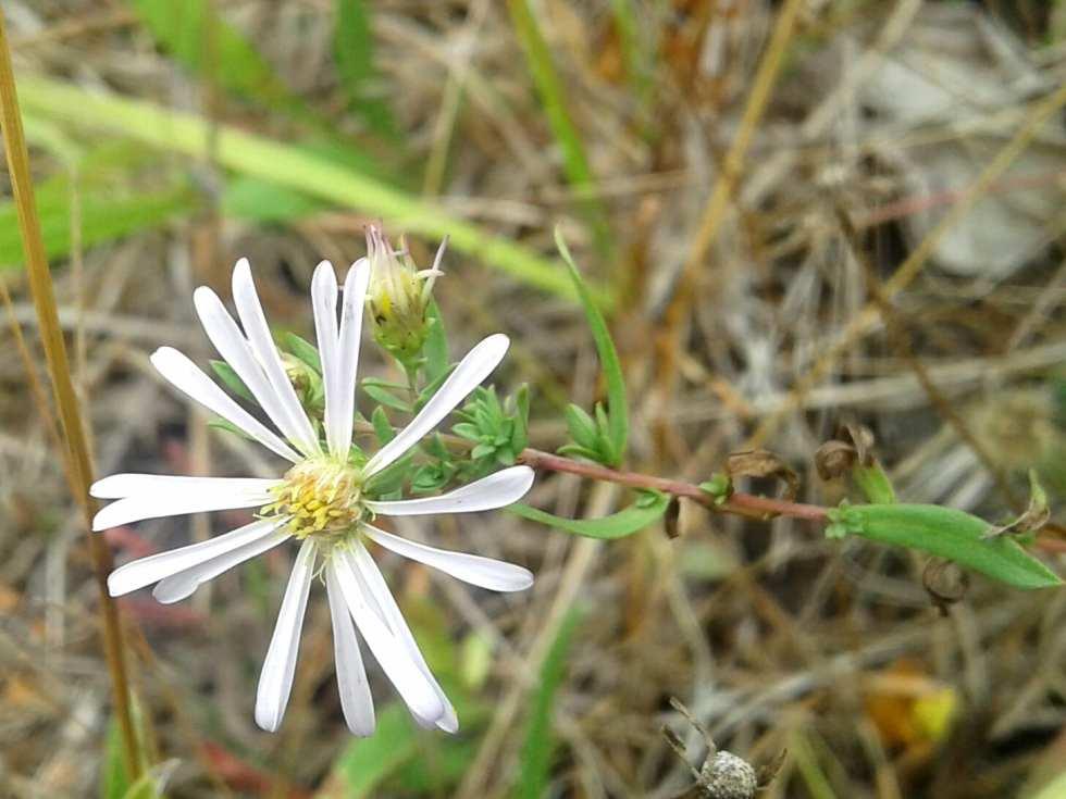 Douglas's Aster (Symphyotrichum Subspicatum)