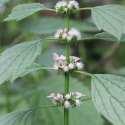 Motherwort – Western Clinical Formulas