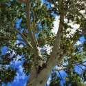 Cottonwood Energetics, TCM, Ayurveda, Traditional Western Herbalism