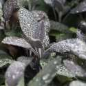 Rosmarinic Acid In Sage For Sore Throats – How It Works