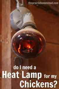 Do My Chickens Need a Heat Lamp?  The Prairie Homestead
