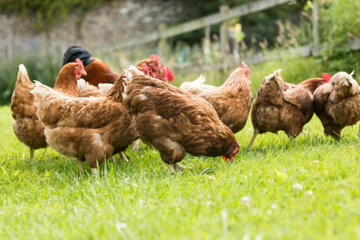 11 Awesome Reasons Why You Should Keep Chickens As Pets