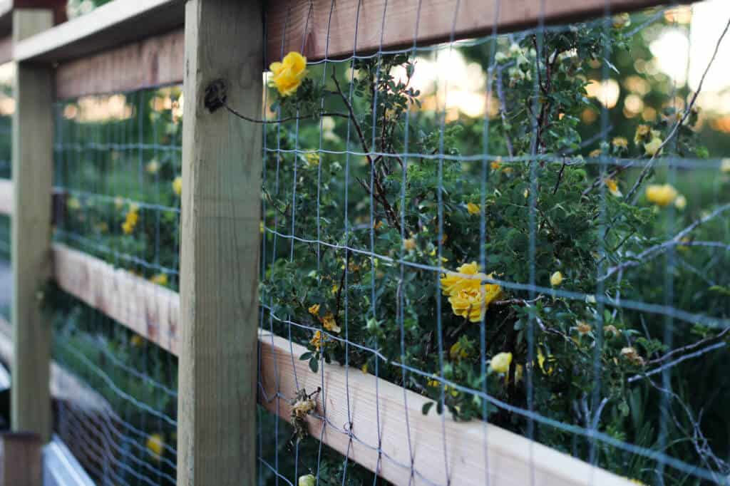 yellow roses near fence