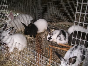 Rabbits are prolific breeders.