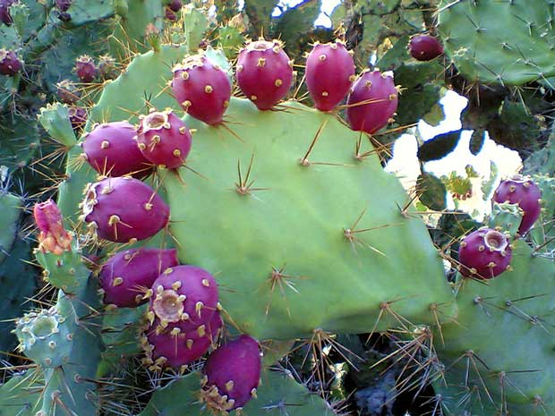 Both the pads and the fruit of the prickly pear cactus are edible.
