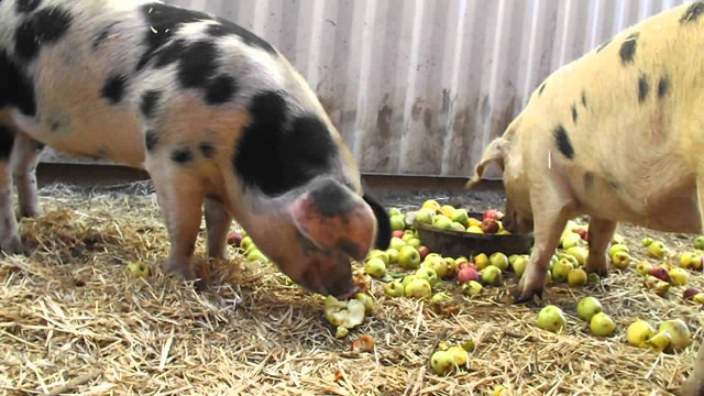 Images – Hogs on apples