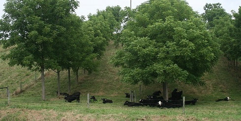 Cattle on silvopasture – Trees can be saw logs, firewood, forage/fodder or fruit and nut trees in a rotational pasture system that creates shade and stacks the functions taking place on a piece of land, creating a more efficient use of that land.
