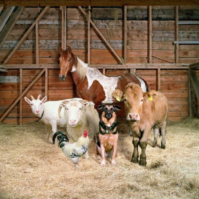 PJ - barnyard