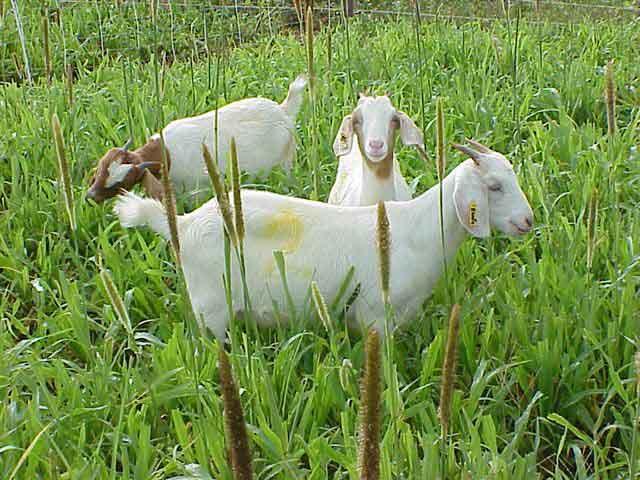 PJ - goats in Pearl-Millet