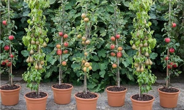 Cordon or columnar fruit is available in several species, and while expensive, it can save space to increase diversity and allow homeowners variety and resilience.
