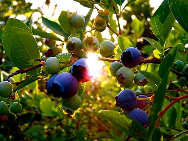 Use fruit bushes as window dressing instead of traditional ornamental shrubs.