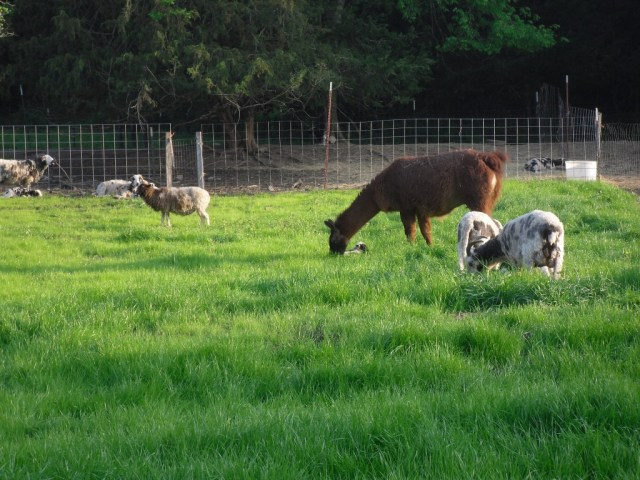 Llama grazing with sheep.