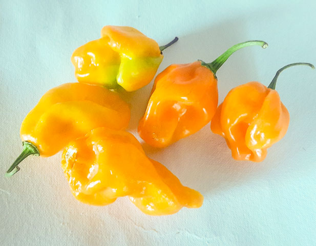 Scotch Bonnet, yellow