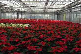 Photo of a poinsettia greenhouse.