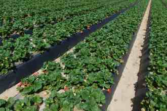 Photo of a strawberry field in Santa Maria, CA.