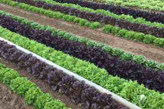 Photo of rows of leafy greens at Babé Farms