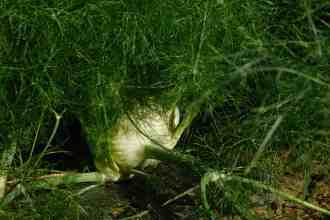 Photo of a fennel plant.