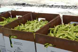 Photo of packed Sugar Snap Peas that were packed into boxes in the field.