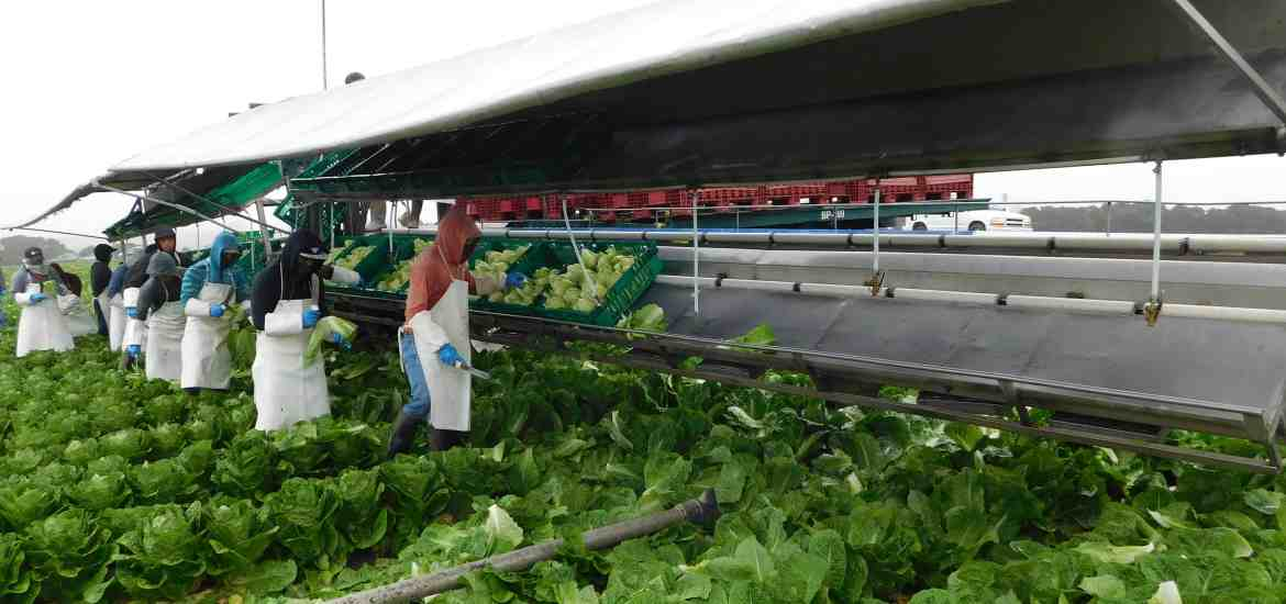 Photo of a romaine harvest crew, while cutting into romaine hearts.