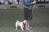 Sydney_Rotal_Dog_Show_The_Pug_Diary_03042015_0051