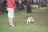 Sydney_Rotal_Dog_Show_The_Pug_Diary_03042015_0064