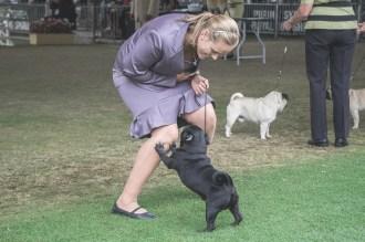 Sydney_Rotal_Dog_Show_The_Pug_Diary_03042015_0066