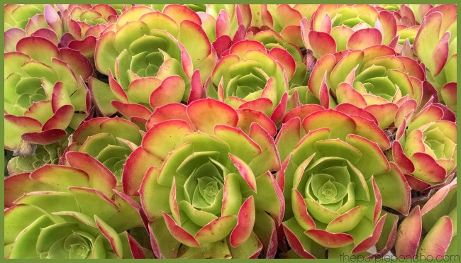 Green and Pink Succulents by The Purple Poncho