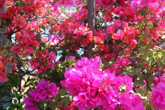 Pink Orange Bougainvillea by The Purple Poncho