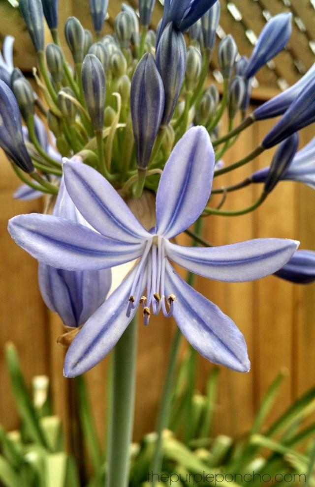 Blooming Agapanthas