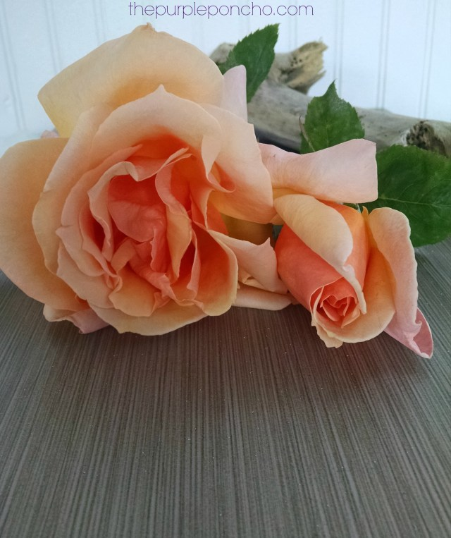 Peach Roses by The Purple Poncho