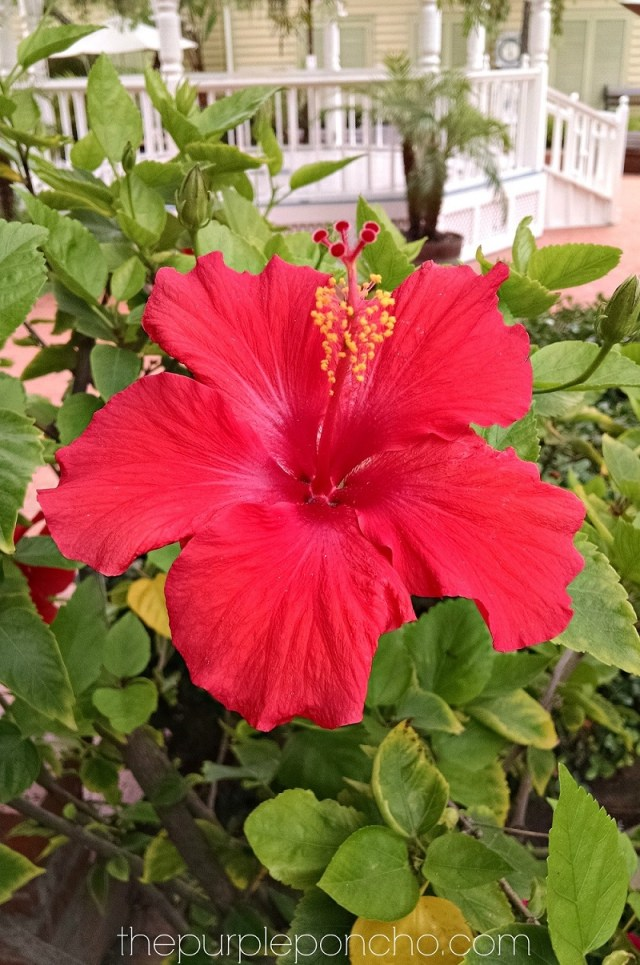 Hibiscus by The Purple Poncho