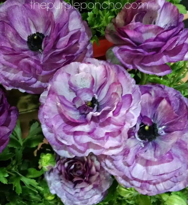 Purple Ranunculus by The Purple Poncho