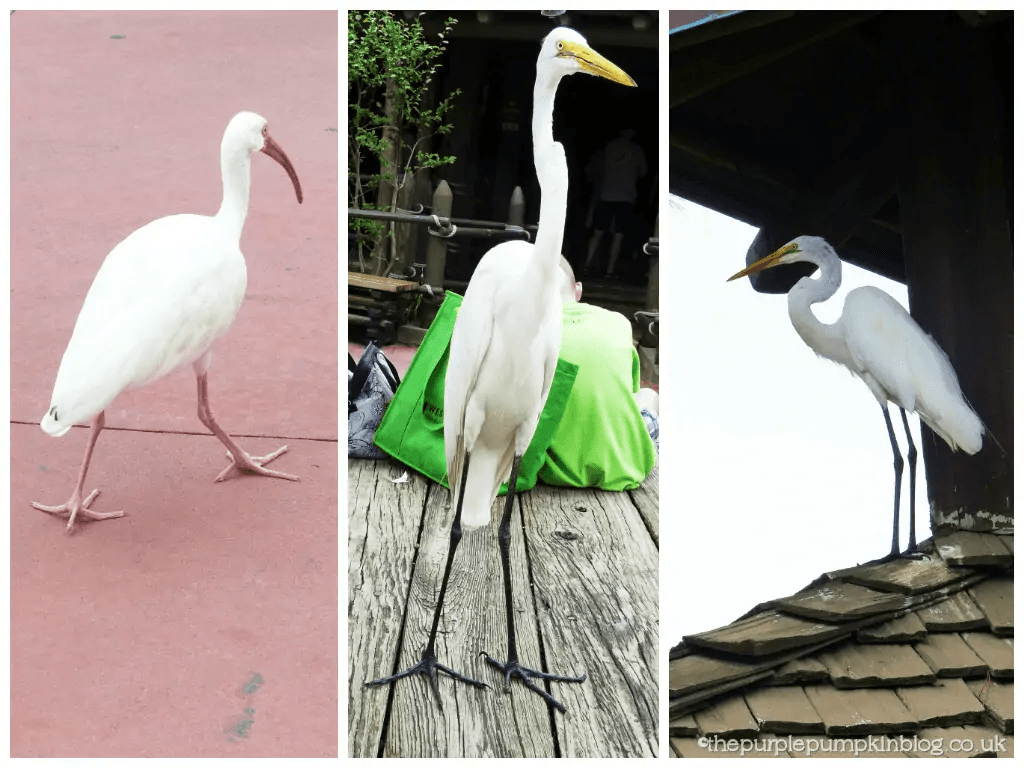 Birds in Frontierland