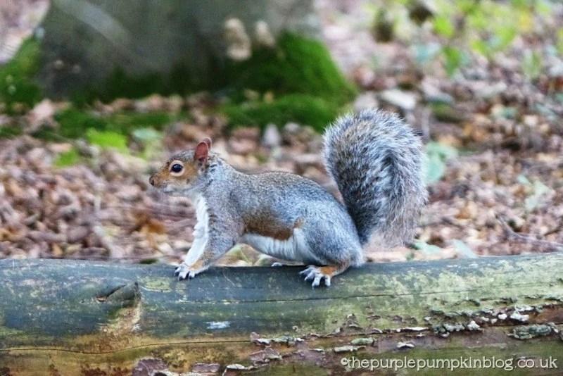 Hanningfield Reservoir Nature Trails - Grey Squirrel