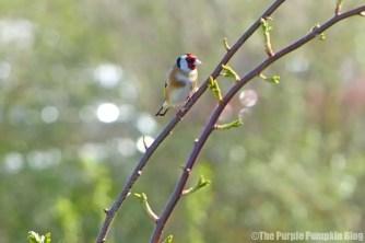 Rainham Marshes RSPB Nature Reserve - Goldfinch