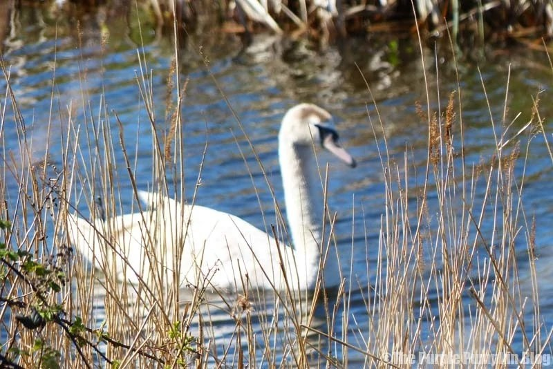 Rainham Marshes RSPB Nature Reserve - Swan