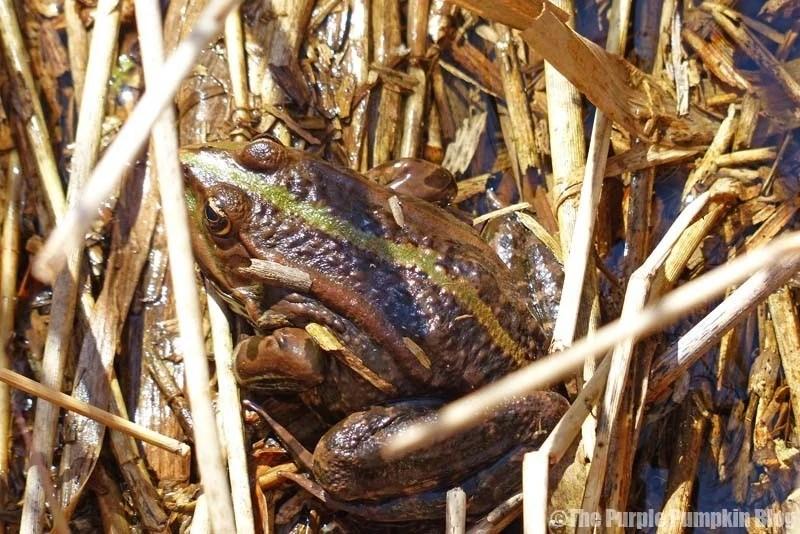 Rainham Marshes RSPB Nature Reserve - Frogs
