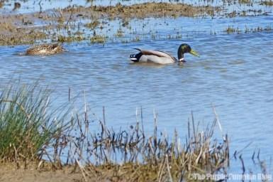 Rainham Marshes RSPB Nature Reserve - Ducks