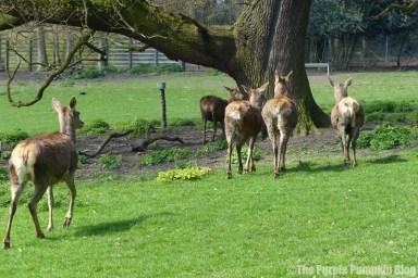 Deer at Bedfords Park