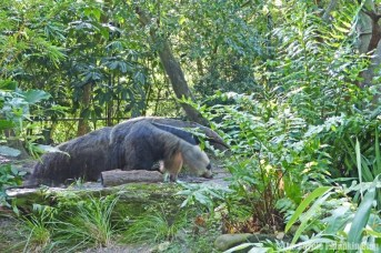 Giant Anteater - Disney's Animal Kingdom