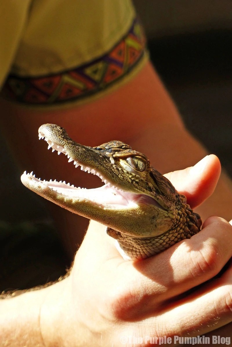 Baby Alligator at Animal Kingdom