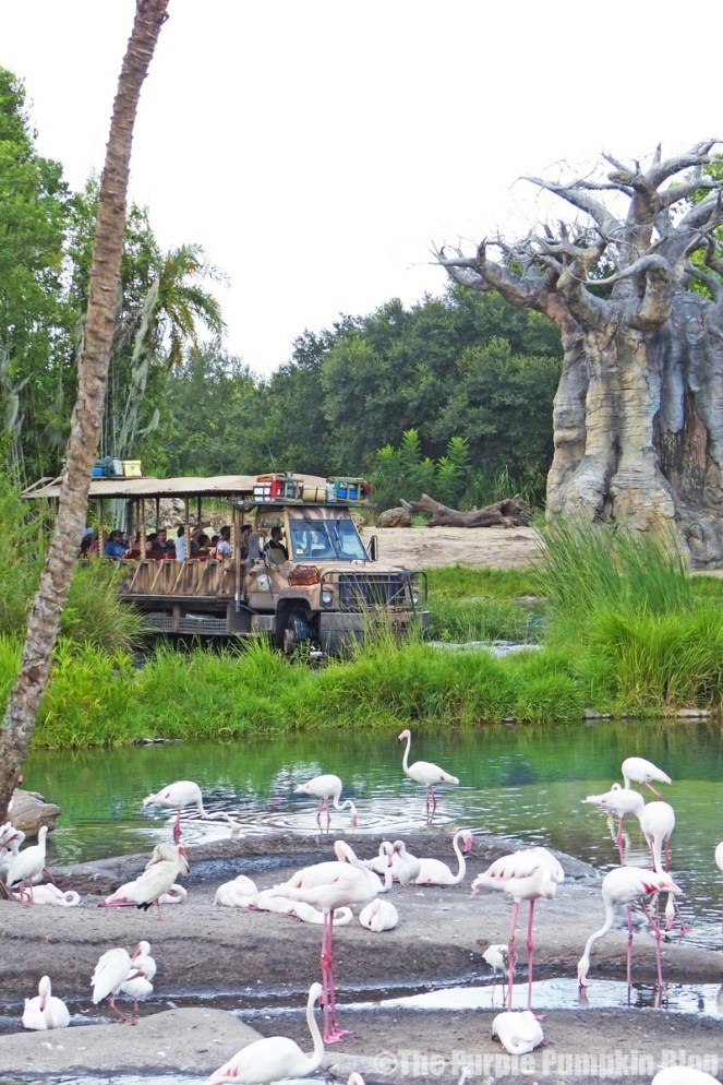 Greater Flamnigo - Kilimanjaro Safaris at Animal Kingdom